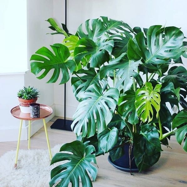 Costela de ad o design natural para decorar a casa - Plantas bonitas de interior ...