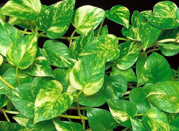Plantas para decorar jiboia uma das melhores para ter em - Ver plantas de interior ...