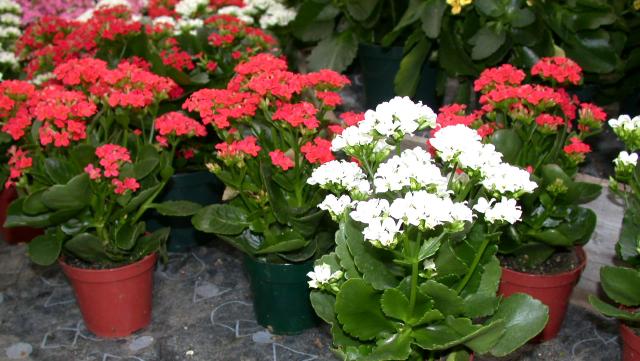 4 plantas com flores f ceis de cuidar simplichique for Planta perenne en maceta de invierno